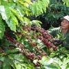 Vietnam's processed coffee looks to create a buzz in global markets