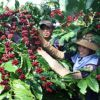 Festival to boost Buon Ma Thuot coffee brand