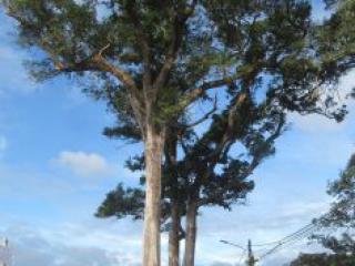 Bóng cây kơ nia